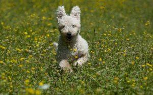 Pumi Dog Running