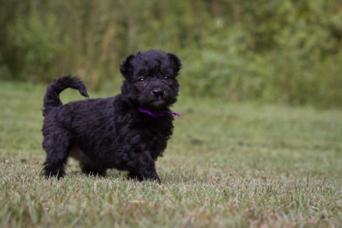Pumi Puppies Are Playful