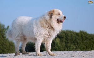 Pyrenean Mastiff Is A Large Dog Breed