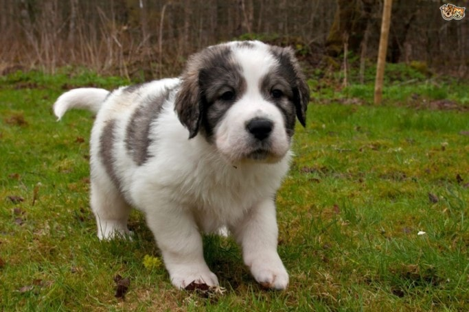 Pyrenean MAstiff Puppies Tend To Grow Fast