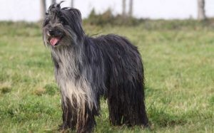 Pyrenean Shepherd Origin, Behavior