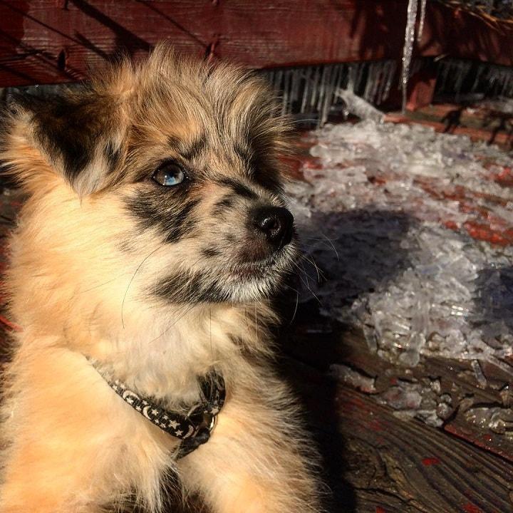 Pyrenean Shepherd Puppy cost