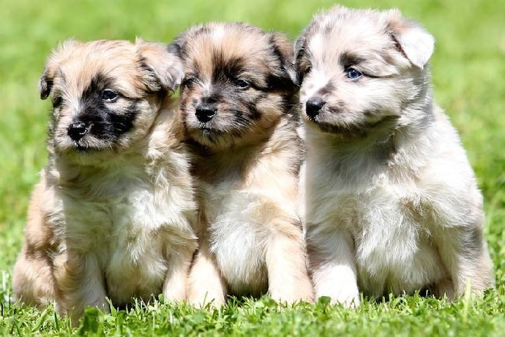Pyrenean Shepherd puppy price