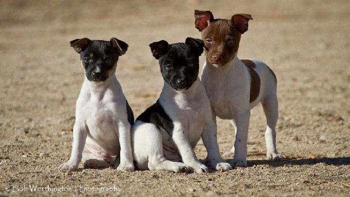 Rat Terrier Puppy cost
