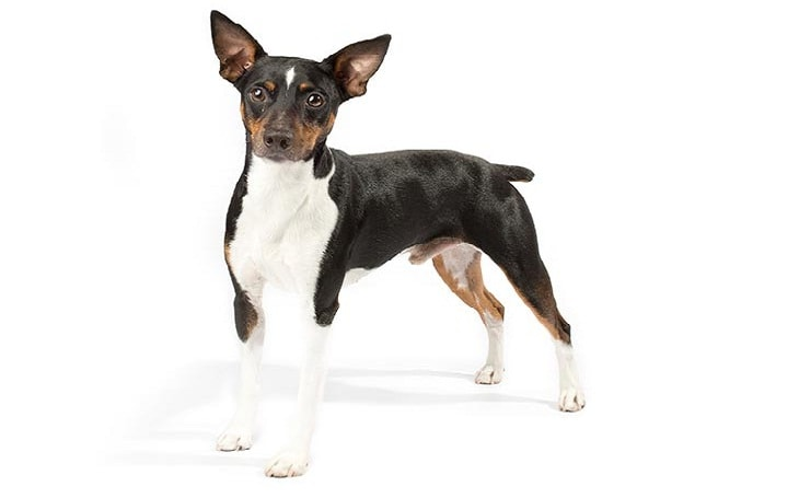 Rat Terrier History, Behaior