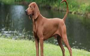Redbone Coonhound Behavior and History