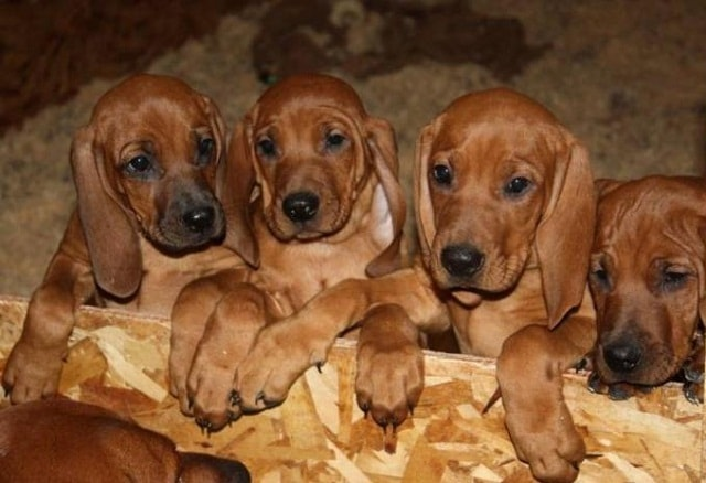 Redbone Coonhound Puppy Cost