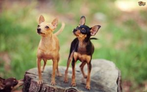 Russian Toy Is The Smallest Dog Breed