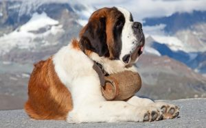 Saint Bernard Are Large-Sized Dogs