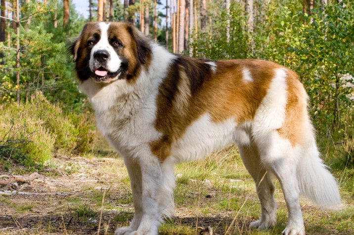 Saint Bernard similar dog to leonberger