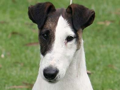 Smooth Fox Terrier Similar dog to Rat Terrier