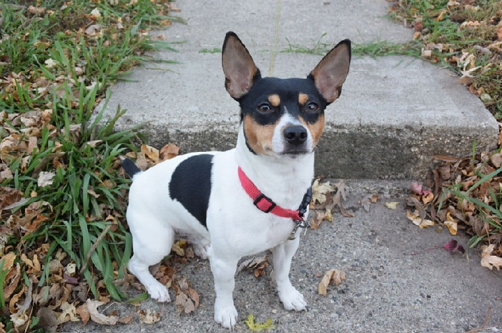 Teddy Roosevelt Terrier Similar dog to Rat Terrier