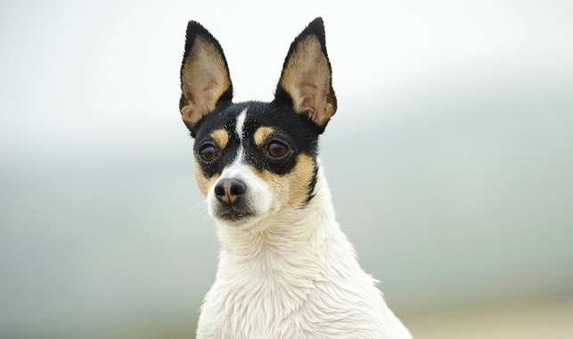 Toy Fox Terrier Similar dog to Rat Terrier