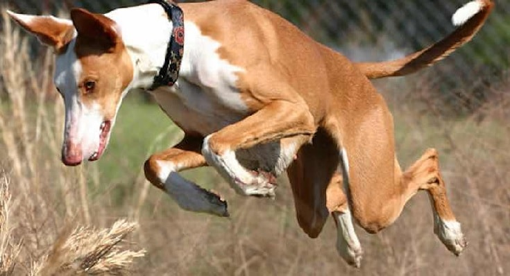 Ibizan Hound Jumping.