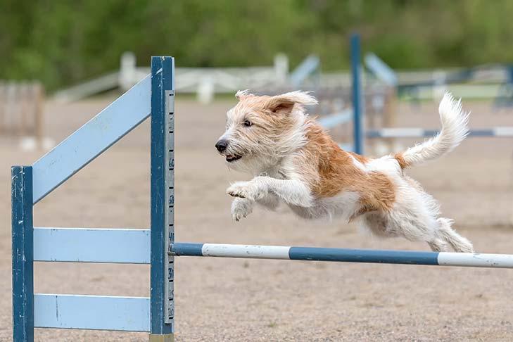 Kromfohrlander agility training.