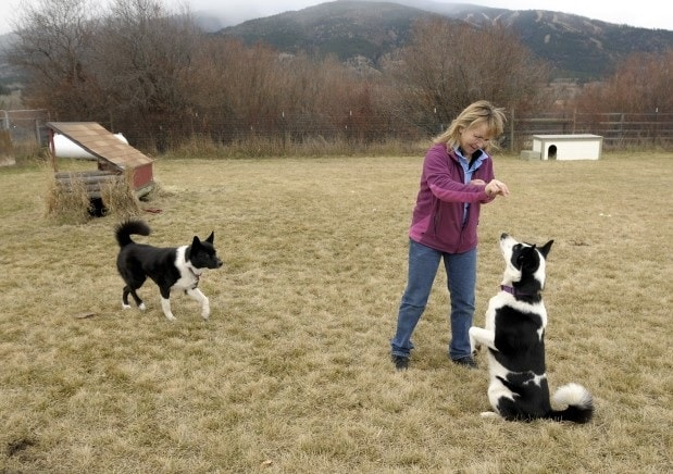 Karelian Bear Dog Training Session.