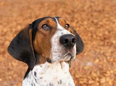 Treeing Walker Coonhound which is similar to Redbone Coonhound