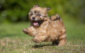 A Lakeland Terrier puppy running.