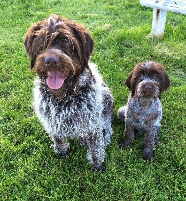 Wirehaired Pointing Griffon which is similar to Otterhound