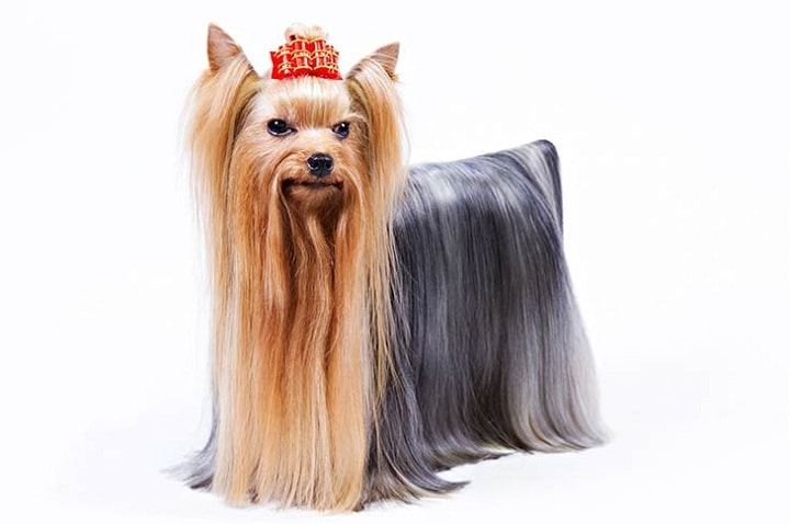 Yorkshire Terrier similar dog breed to Maltese