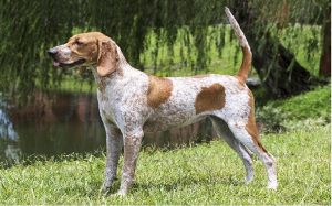 facts of american english coonhound dog