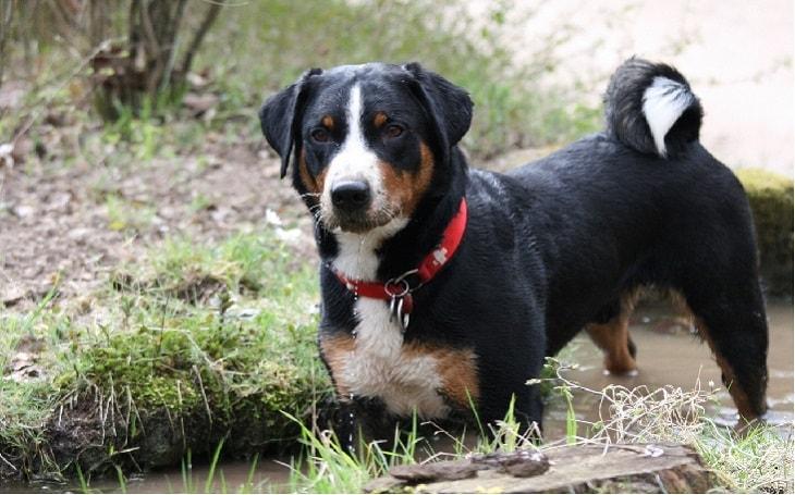 temperament of appenzeller sennenhund dog