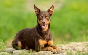 temperament of australian kelpie dog