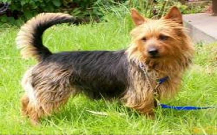 temperament of australian terrier dog