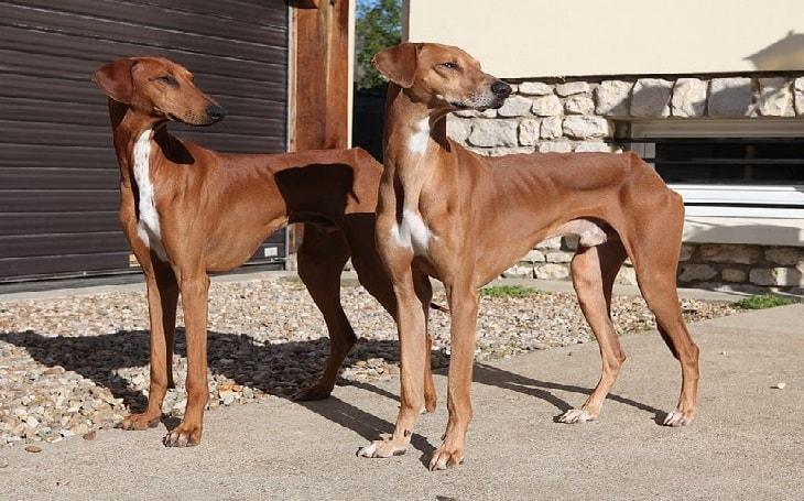 temperament of azawakh dogs