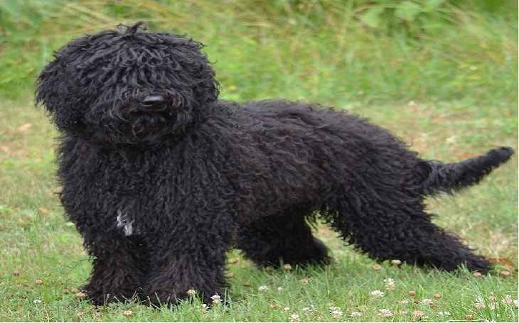 temperament of barbet dog