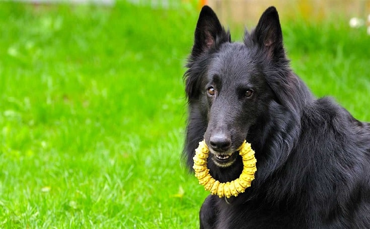 Belgian Sheepdog Enjoying Playing Outdoor.