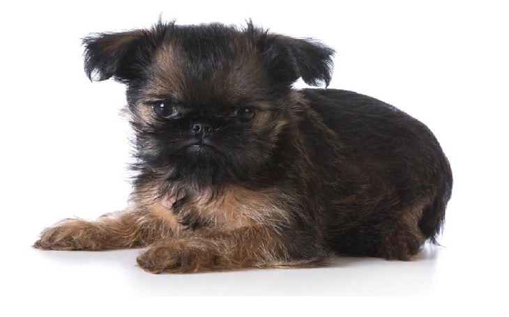 temperament of Brussels Griffon dog