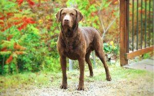 health issues of chesapeake bay retriever dog