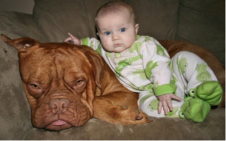facts of dogue de bordeaux dog