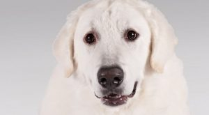 Kuvasz Is A Large Dog Breeds