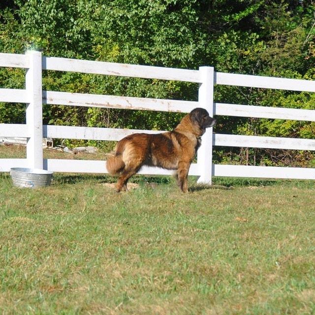 training process of Estrela Mountain dogs