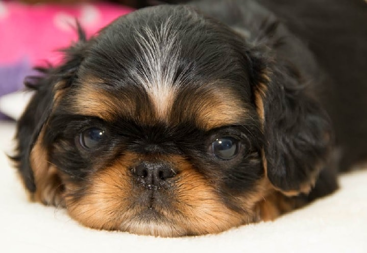 2 weeks English Toy Spaniel