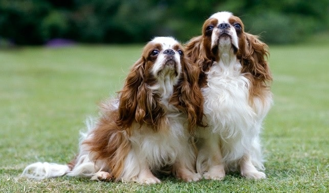 Adult English Toy Spaniel