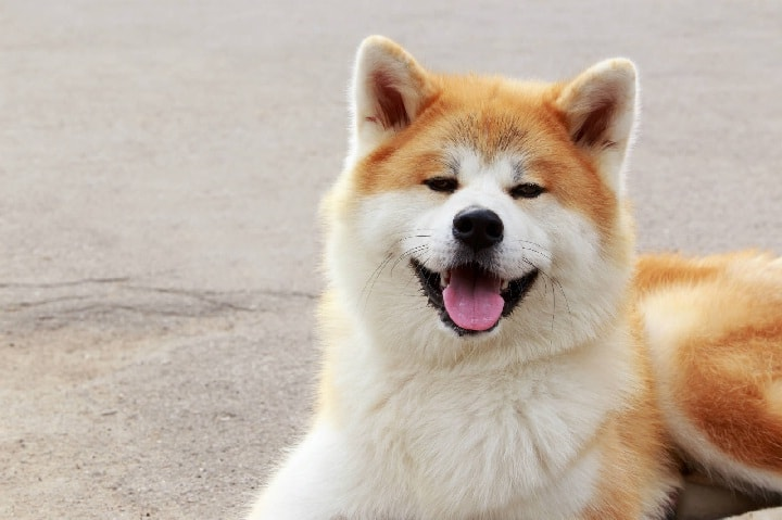 Akita which is similar to Siberian Husky