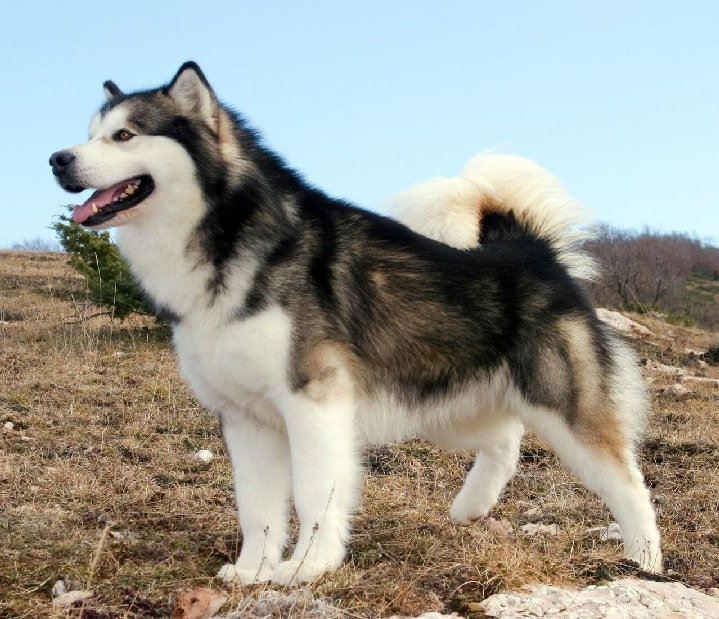 Alaskan Malamuta which is similar to Siberian Husky