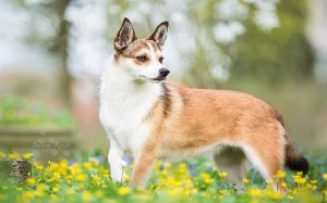 Beautiful Norwegian Lundehund Dog Breed.