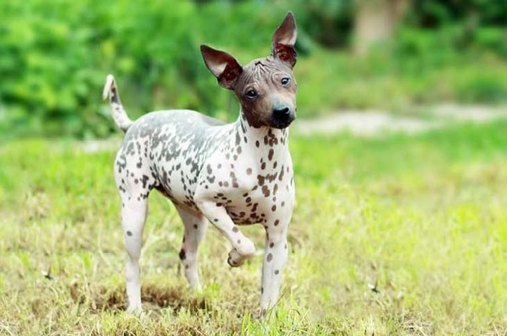 American Hairless Terrier which is similar to Peruvian Inca Orchid