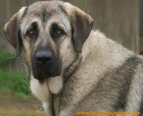 Anatolian shepherd which is similar to Rafeiro do Alentejo