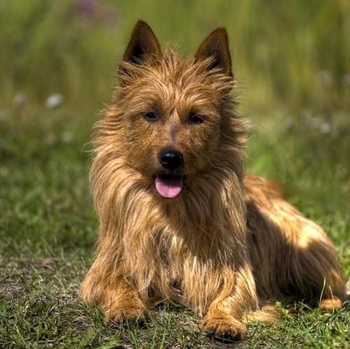 Australian Terrier which similar dog breed to Silky Terrier