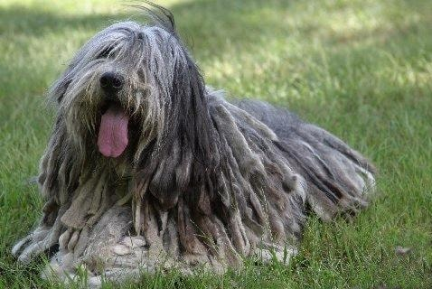 Bergamasco Sheepdog which is similar to Puli