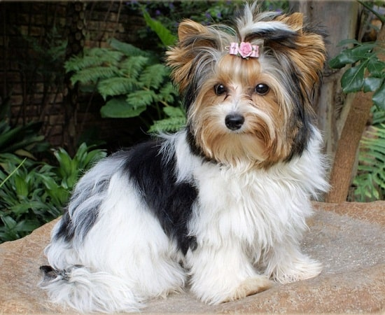 Biewer which similar dog breed to Silky Terrier