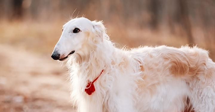 Borzoi dog which is similar to Sloughi