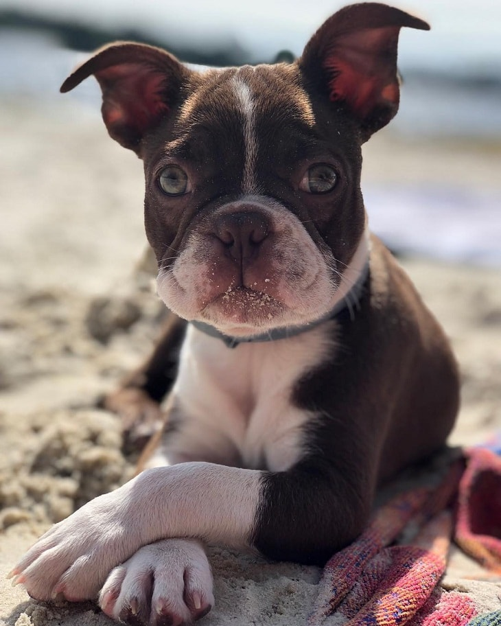 Boston Terrier which is similar to Pug