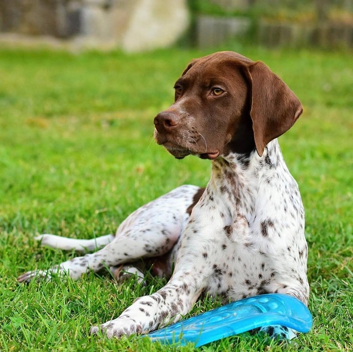 Braque Francai Pyrenean which is similar to Portuguese Pointer