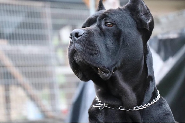 Cane Corso which is similar to Rottweiler